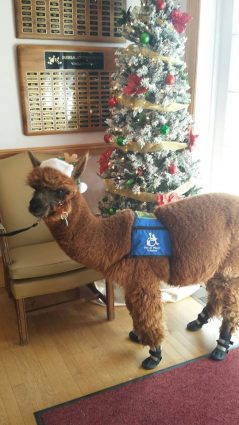 Everlast, the alpaca, gets to work being as cute as possible.