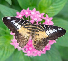 Care & Handling of Butterflies in Your Garden Virtual Program