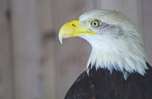 Nature Virtual Lectures: The American Bald Eagle F...