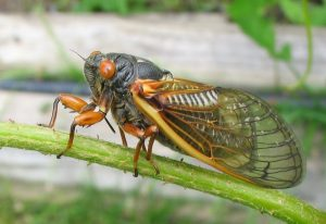 Periodical Cicadas: An Intersection of Human History and Natural History